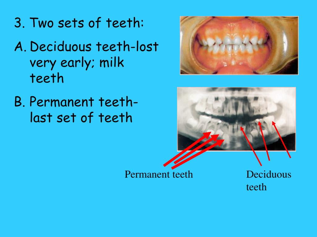 3. Two sets of teeth: