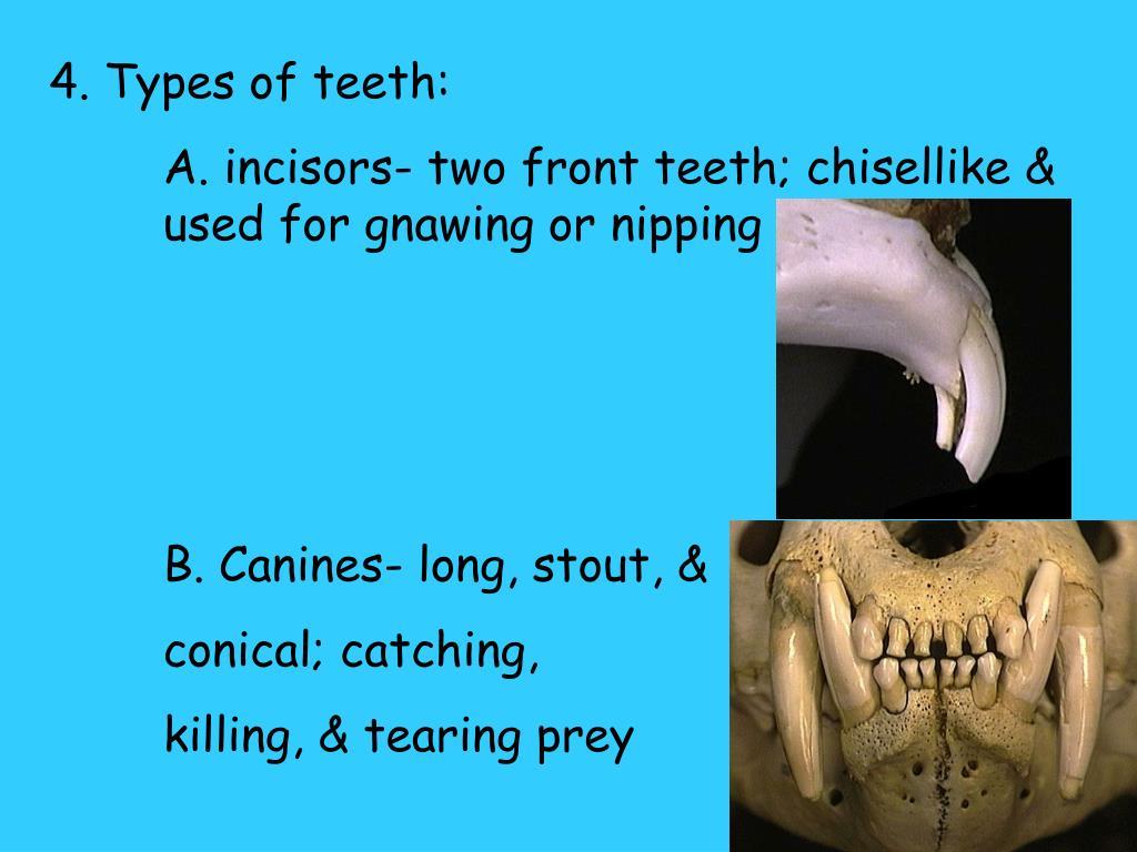 4. Types of teeth: