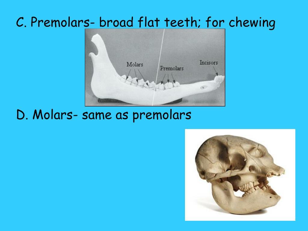 C. Premolars- broad flat teeth; for chewing