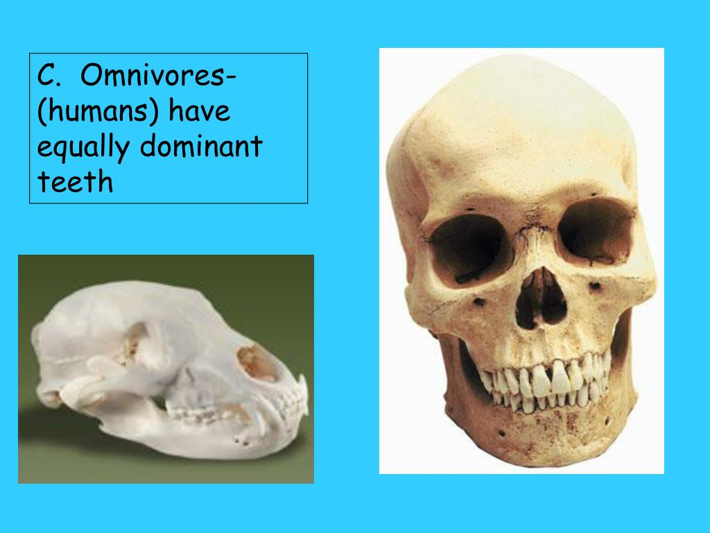 C.  Omnivores-(humans) have equally dominant teeth