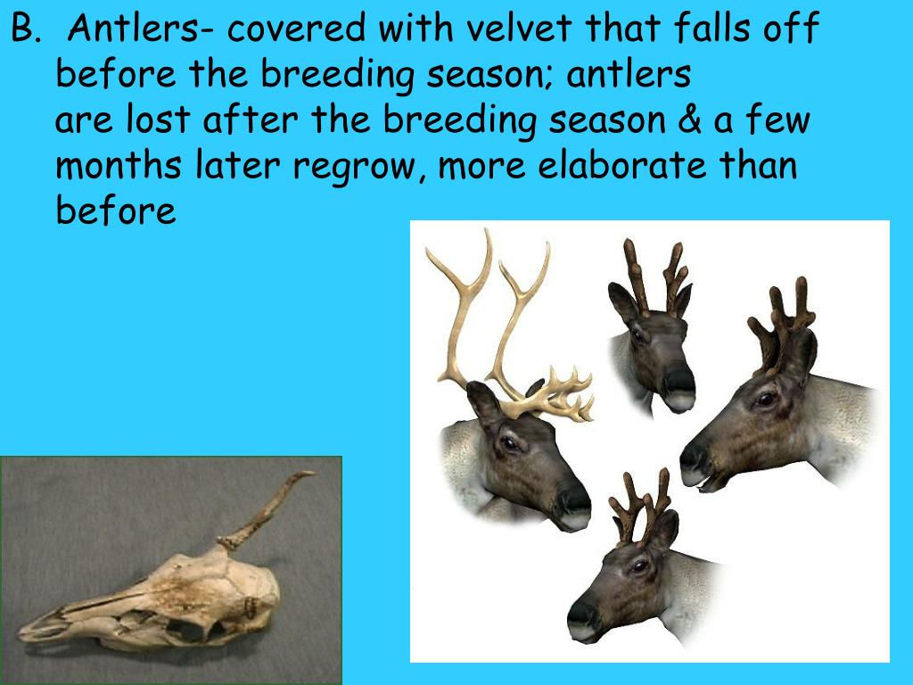 B.  Antlers- covered with velvet that falls off before the breeding season; antlers                                   are lost after the breeding season & a few months later regrow, more elaborate than before