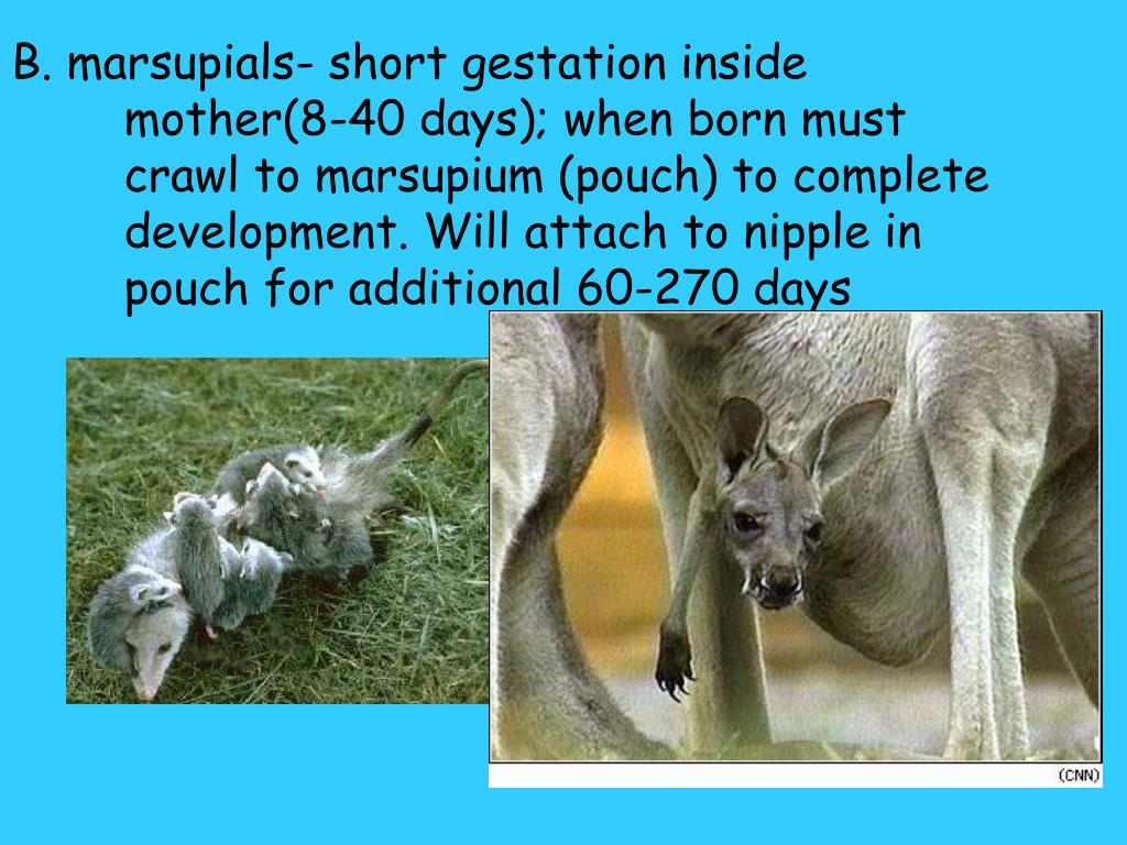 B. marsupials- short gestation inside mother(8-40 days); when born must crawl to marsupium (pouch) to complete development. Will attach to nipple in pouch for additional 60-270 days