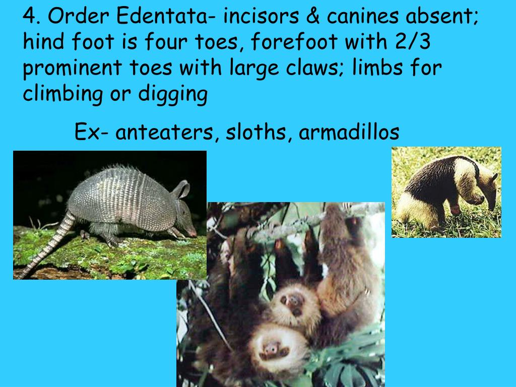 4. Order Edentata- incisors & canines absent; hind foot is four toes, forefoot with 2/3 prominent toes with large claws; limbs for climbing or digging