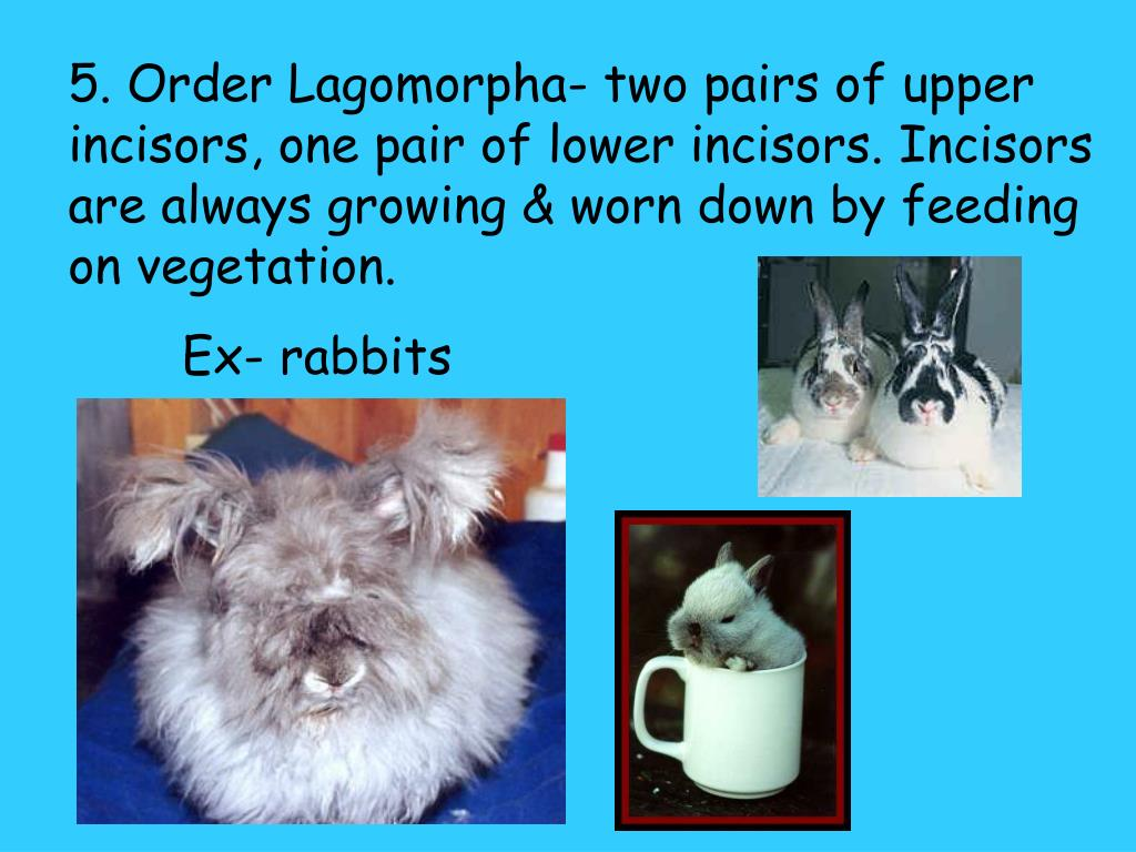 5. Order Lagomorpha- two pairs of upper incisors, one pair of lower incisors. Incisors are always growing & worn down by feeding on vegetation.