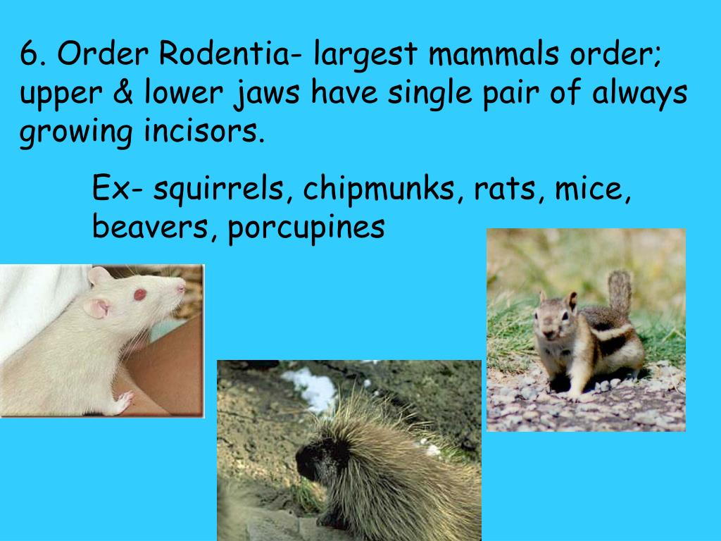 6. Order Rodentia- largest mammals order; upper & lower jaws have single pair of always growing incisors.