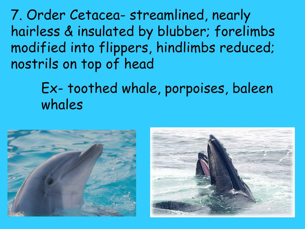 7. Order Cetacea- streamlined, nearly hairless & insulated by blubber; forelimbs modified into flippers, hindlimbs reduced; nostrils on top of head