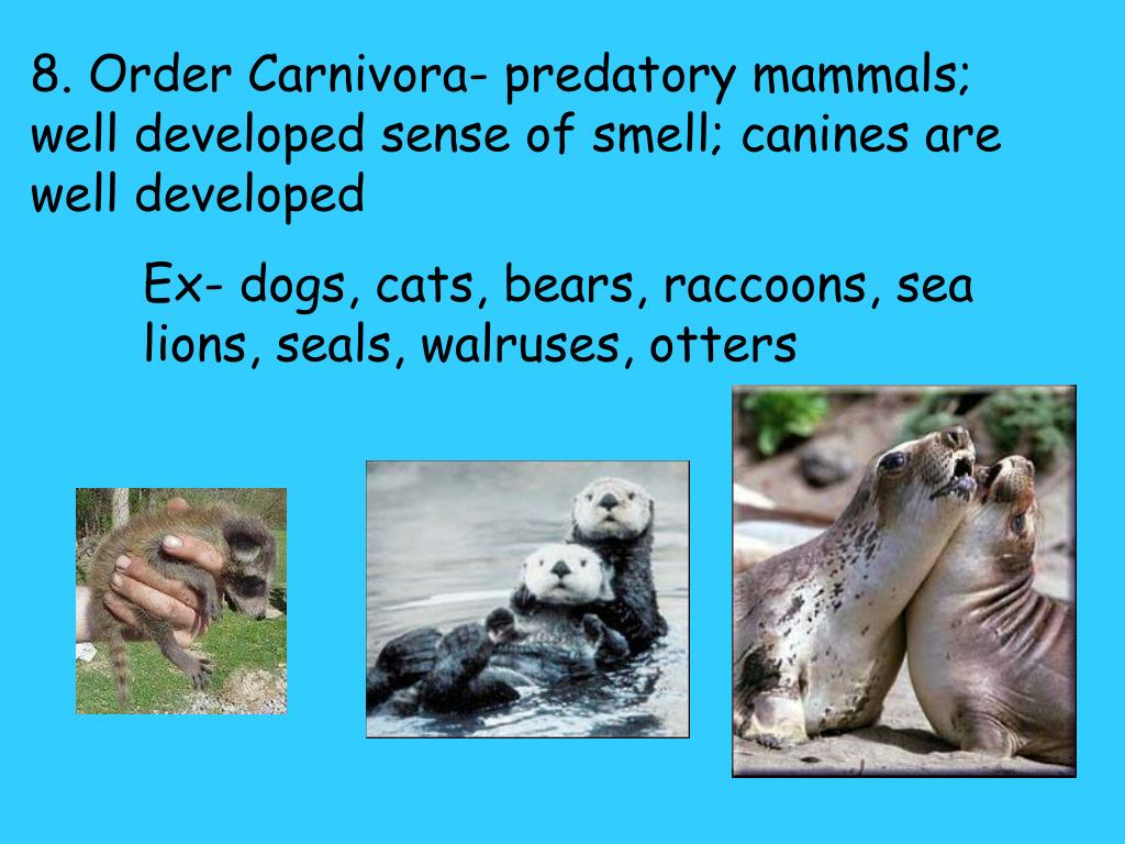 8. Order Carnivora- predatory mammals; well developed sense of smell; canines are well developed