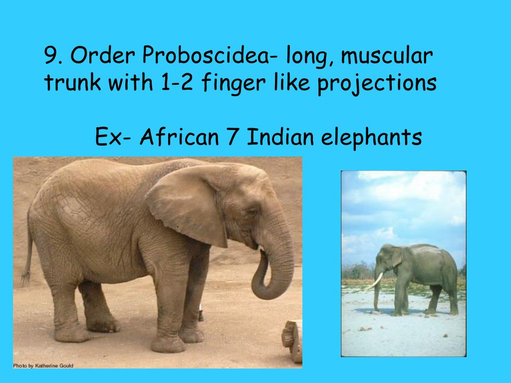 9. Order Proboscidea- long, muscular trunk with 1-2 finger like projections
