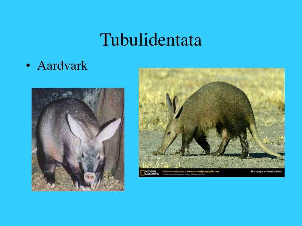 Tubulidentata