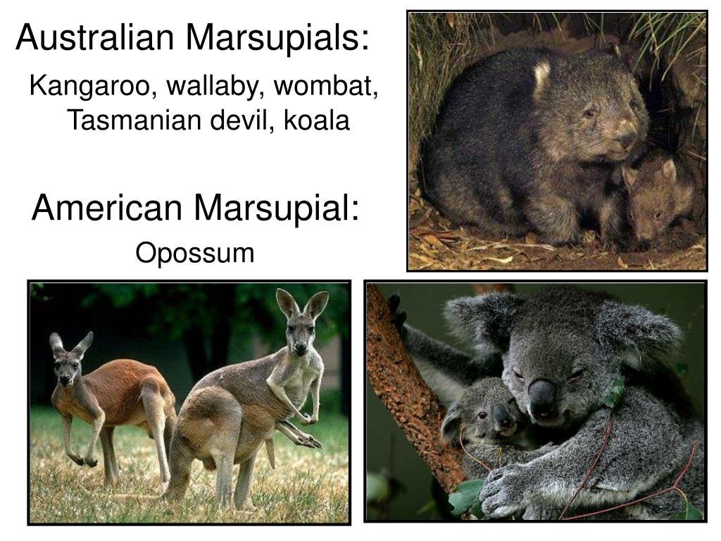 Australian Marsupials: