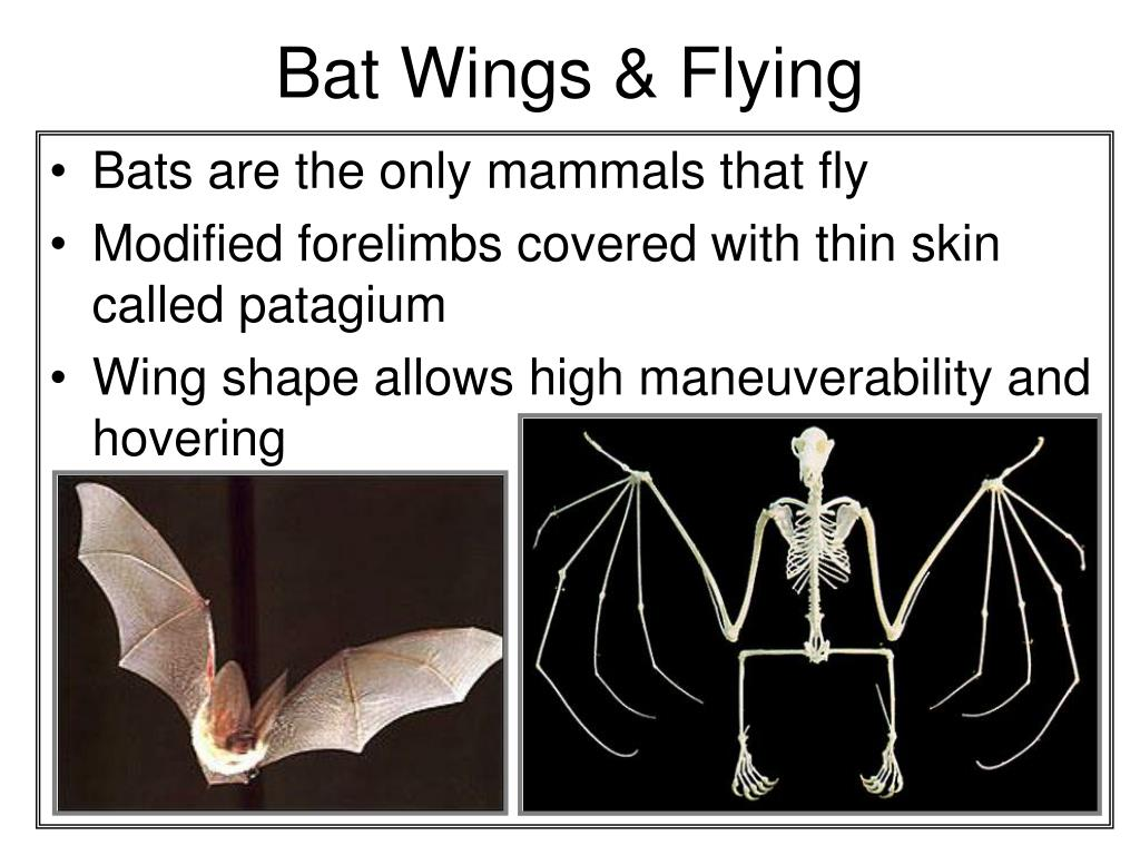 Bat Wings & Flying