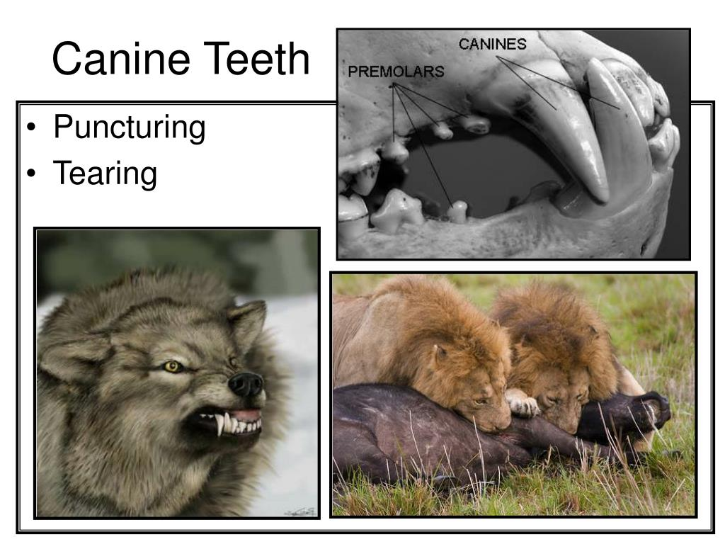 Canine Teeth