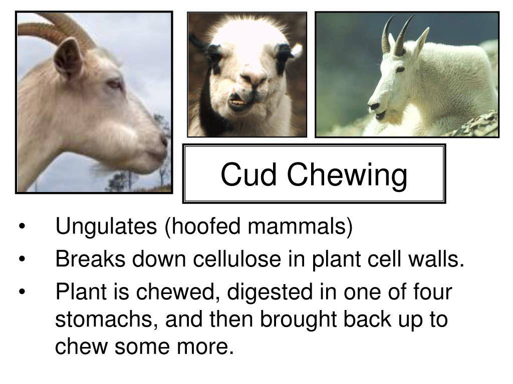 Cud Chewing