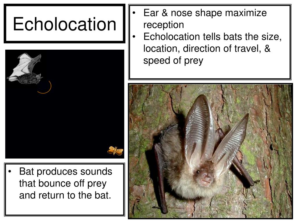 Bat produces sounds that bounce off prey and return to the bat.