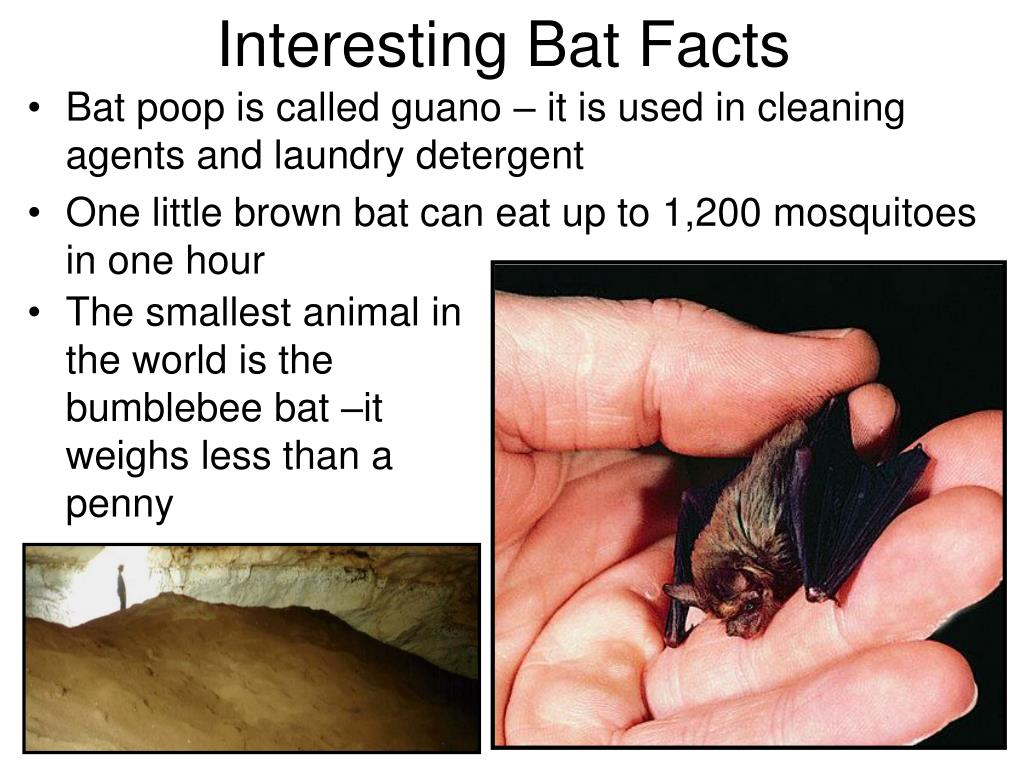 Bat poop is called guano – it is used in cleaning agents and laundry detergent