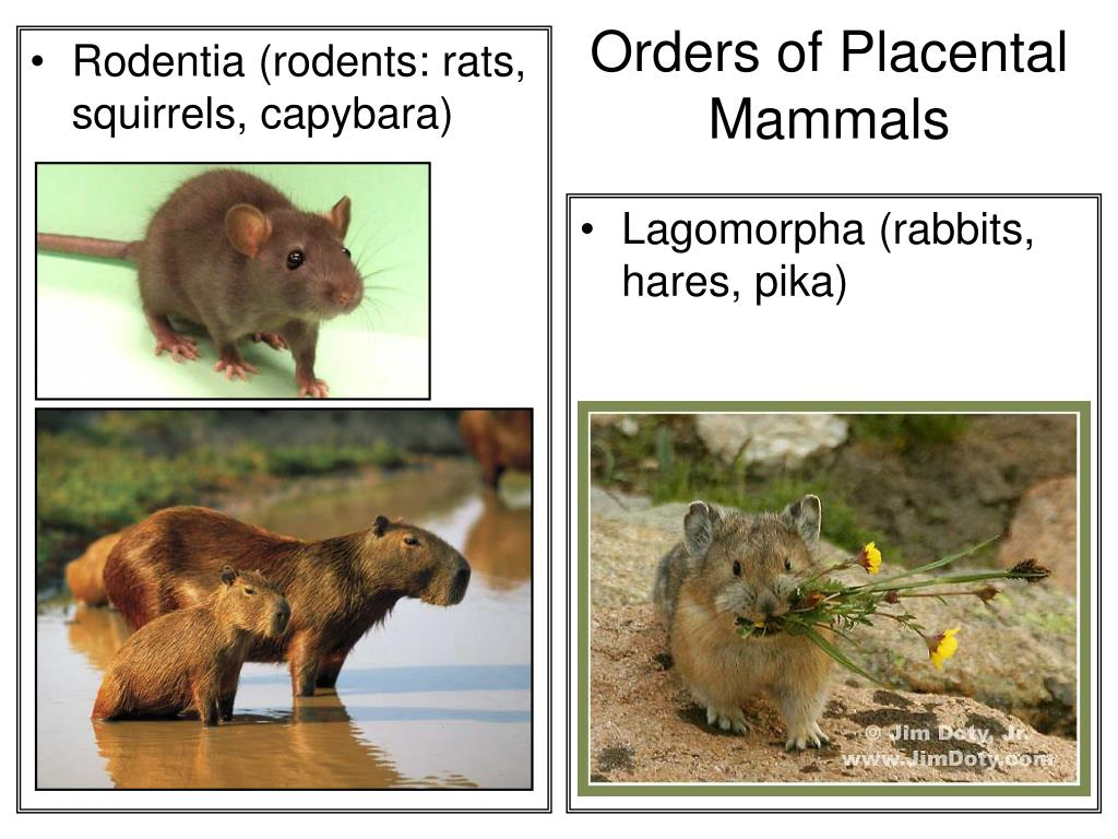 Rodentia (rodents: rats, squirrels, capybara)