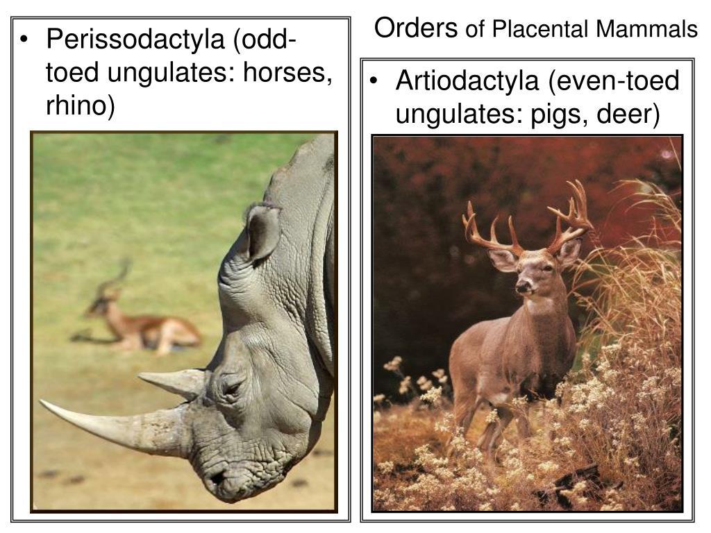 Perissodactyla(odd-toed ungulates: horses, rhino)