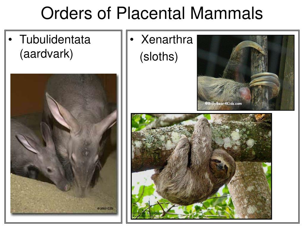 Tubulidentata (aardvark)