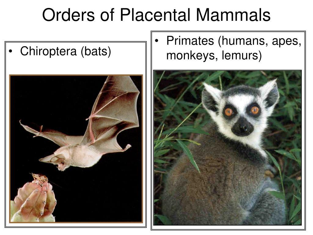 Chiroptera (bats)