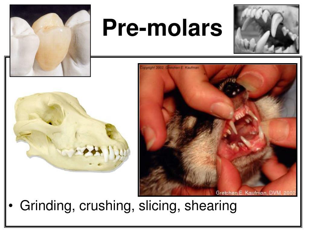 Pre-molars