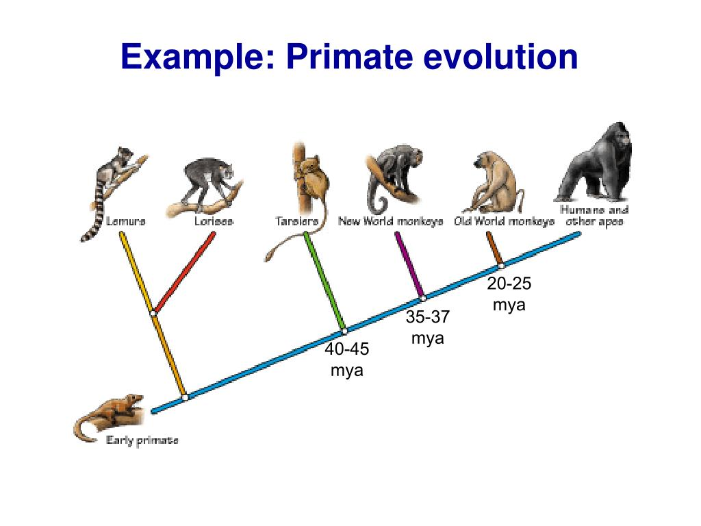 Example: Primate evolution