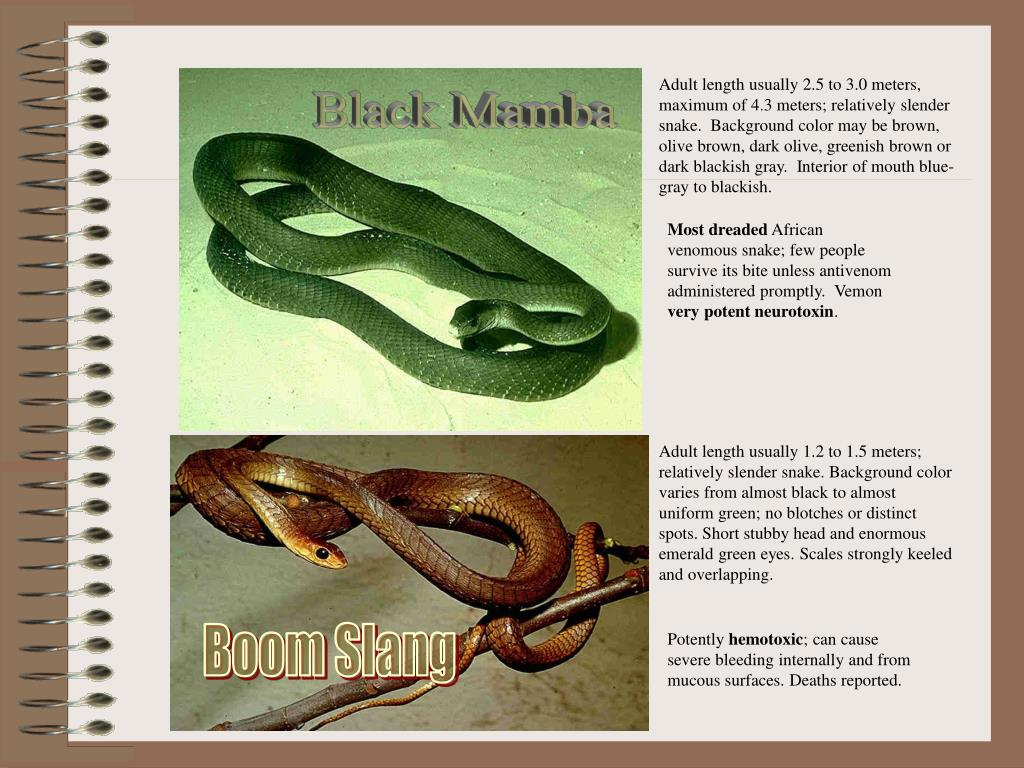 Adult length usually 2.5 to 3.0 meters, maximum of 4.3 meters; relatively slender snake.  Background color may be brown, olive brown, dark olive, greenish brown or dark blackish gray.  Interior of mouth blue-gray to blackish.