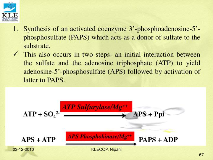 Synthesis of an activated coenzyme 3'-phosphoadenosine-5'-  phosphosulfate (PAPS) which acts as a donor of sulfate to the substrate.