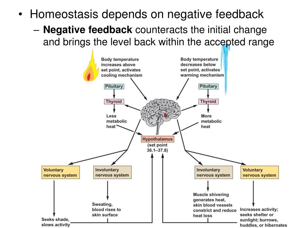 Homeostasis depends on negative feedback
