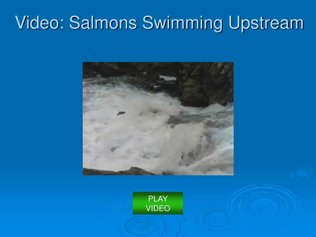 Video: Salmons Swimming Upstream