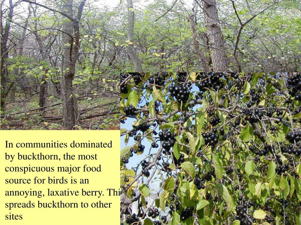 In communities dominated by buckthorn, the most conspicuous major food source for birds is an annoying, laxative berry. This spreads buckthorn to other sites