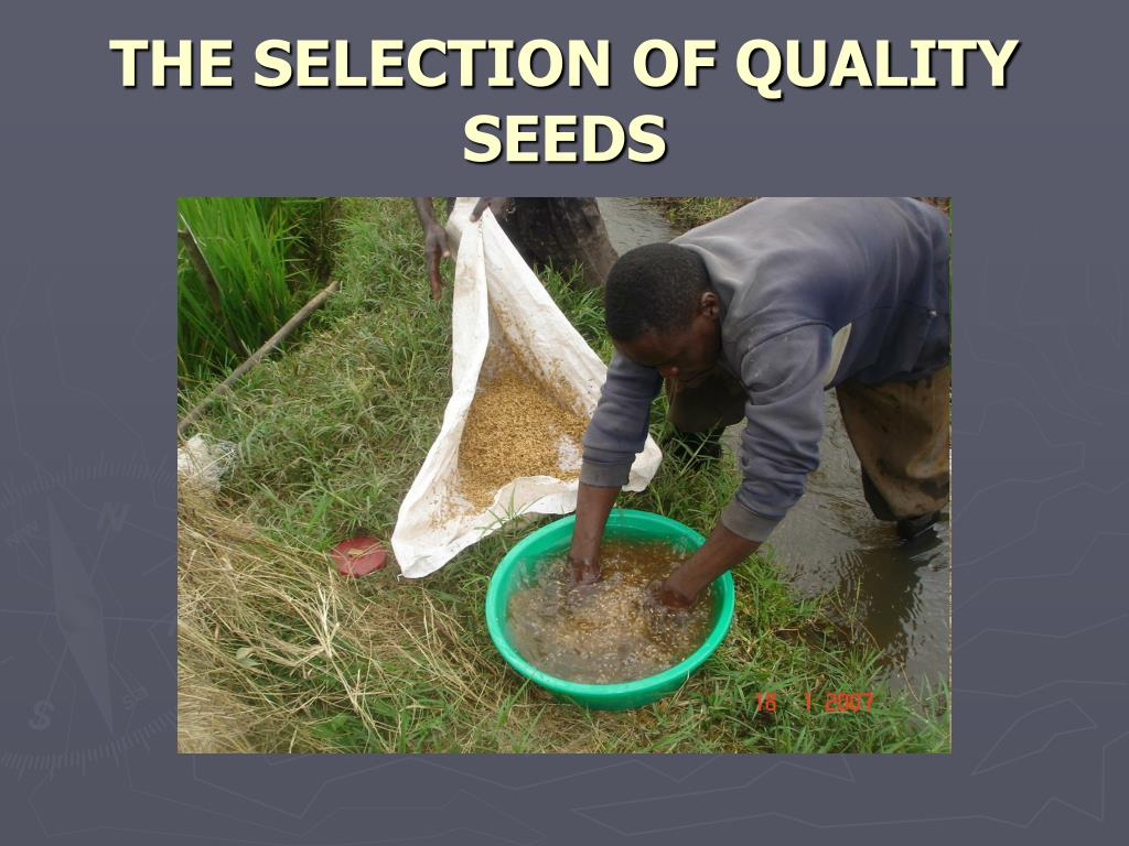 THE SELECTION OF QUALITY SEEDS