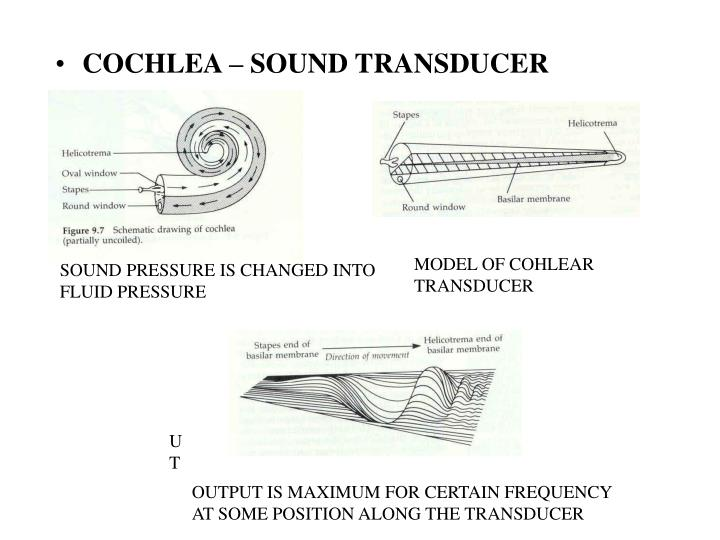 COCHLEA – SOUND TRANSDUCER
