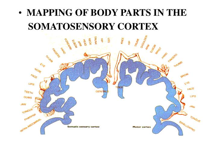 MAPPING OF BODY PARTS IN THE