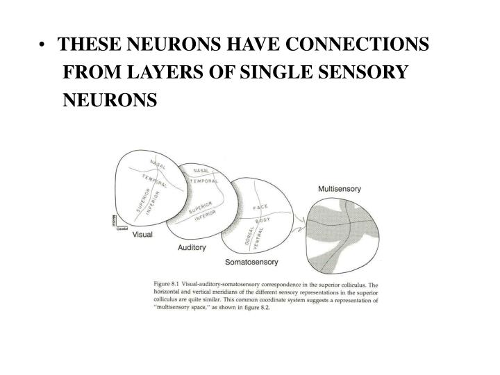 THESE NEURONS HAVE CONNECTIONS