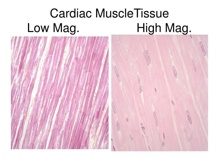 Cardiac MuscleTissue