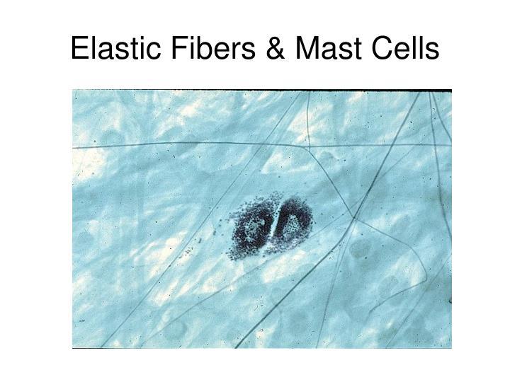 Elastic Fibers & Mast Cells
