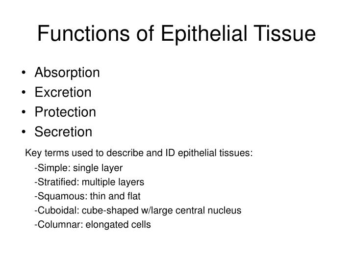 Functions of Epithelial Tissue