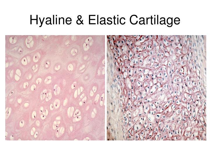 Hyaline & Elastic Cartilage