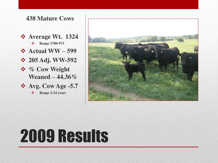 438 Mature Cows