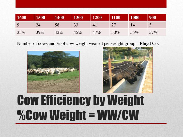 Number of cows and % of cow weight weaned per weight group –