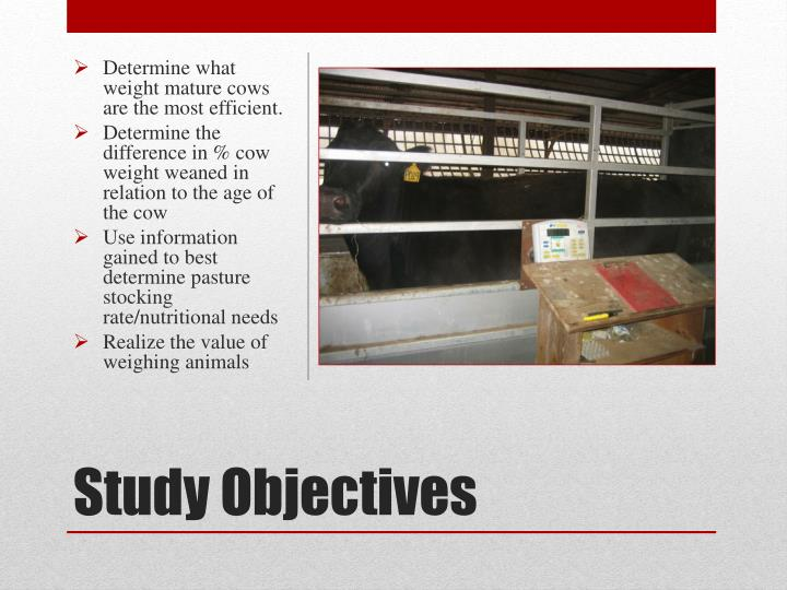 Determine what weight mature cows are the most efficient.