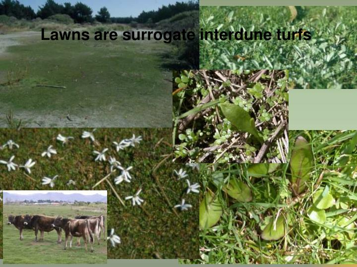 Lawns are surrogate interdune turfs