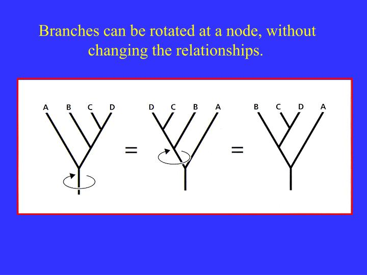 Branches can be rotated at a node, without changing the relationships.