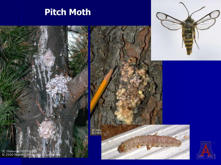 Pitch Moth