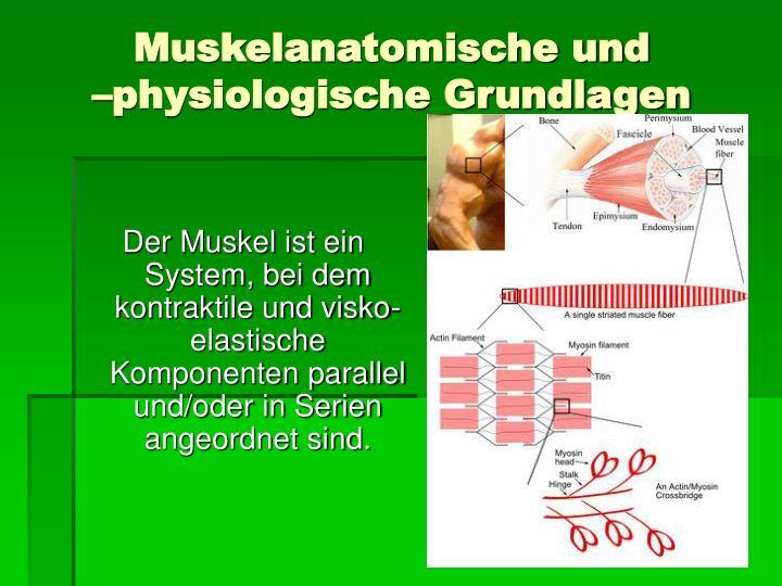 Muskelanatomische und