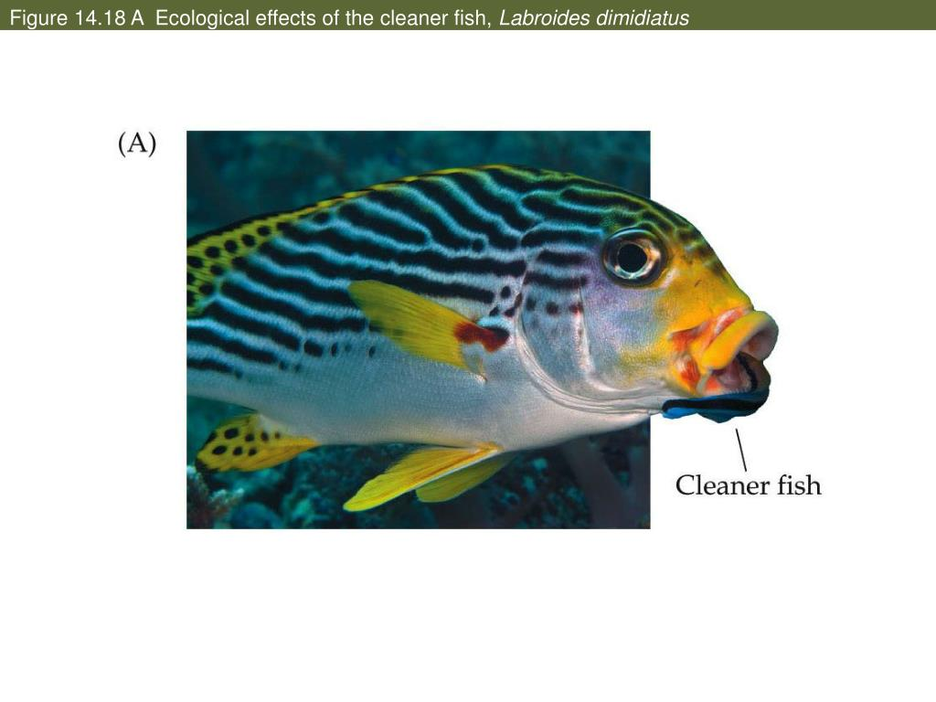 Figure 14.18 A  Ecological effects of the cleaner fish,