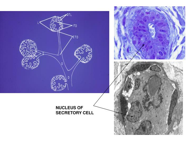 NUCLEUS OF SECRETORY CELL