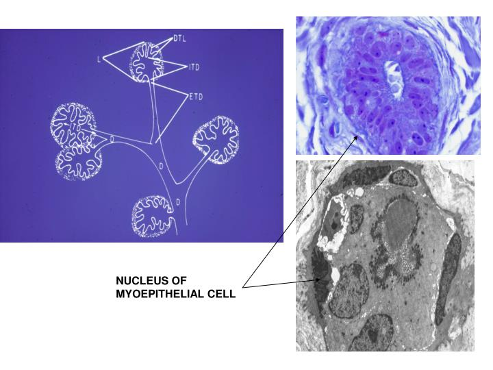 NUCLEUS OF MYOEPITHELIAL CELL
