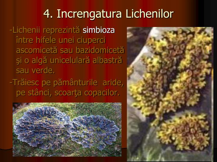 4. Increngatura Lichenilor