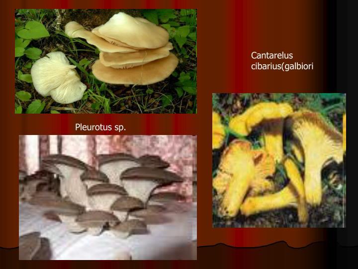 Cantarelus cibarius(galbiori